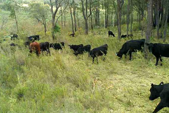 more_cows