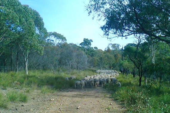 sheep_walking