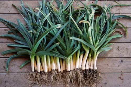 prebiotic foods leeks