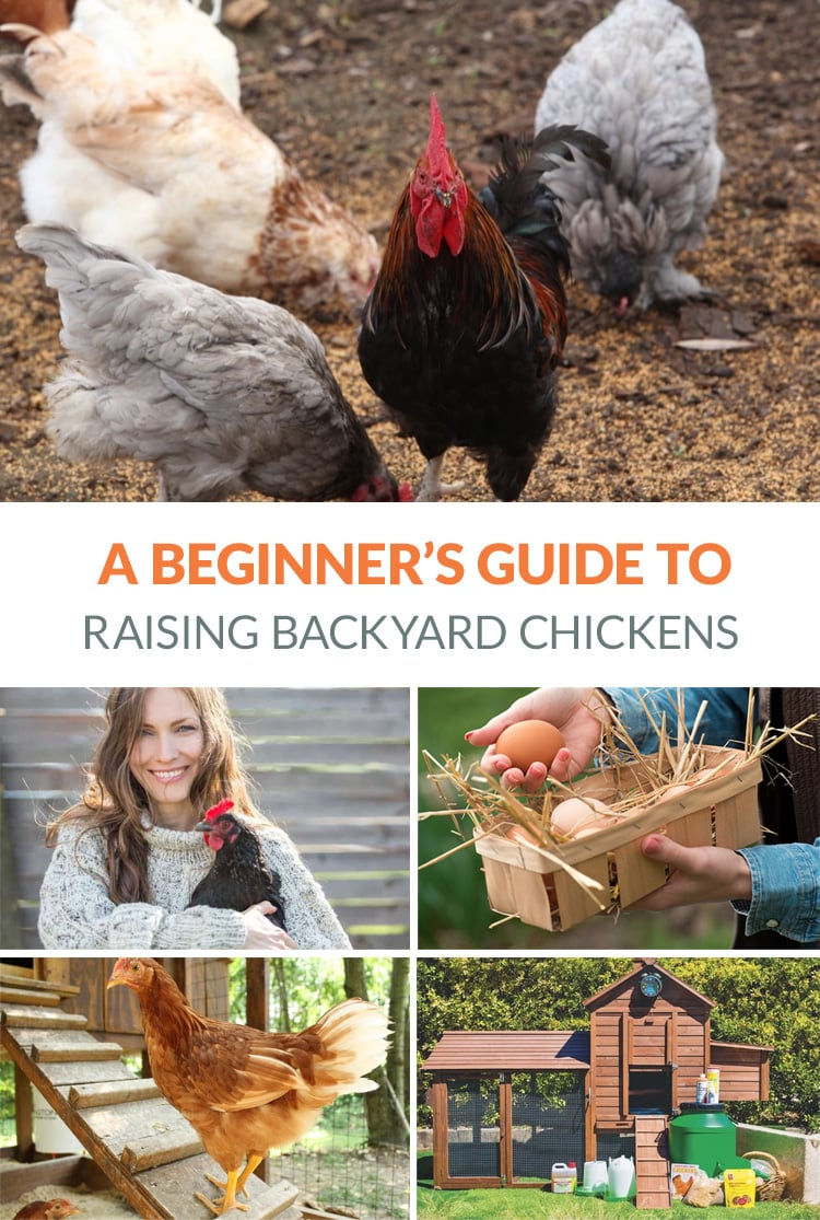 Raising Backard Chicken For Eggs & Other Benefits